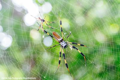 Golden orb-weaver spider, Hugh Taylor Birch State Park, Ft. Lauderdale, Florida