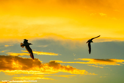 Sea Gulls, sunset, Key Largo, Florida Keys