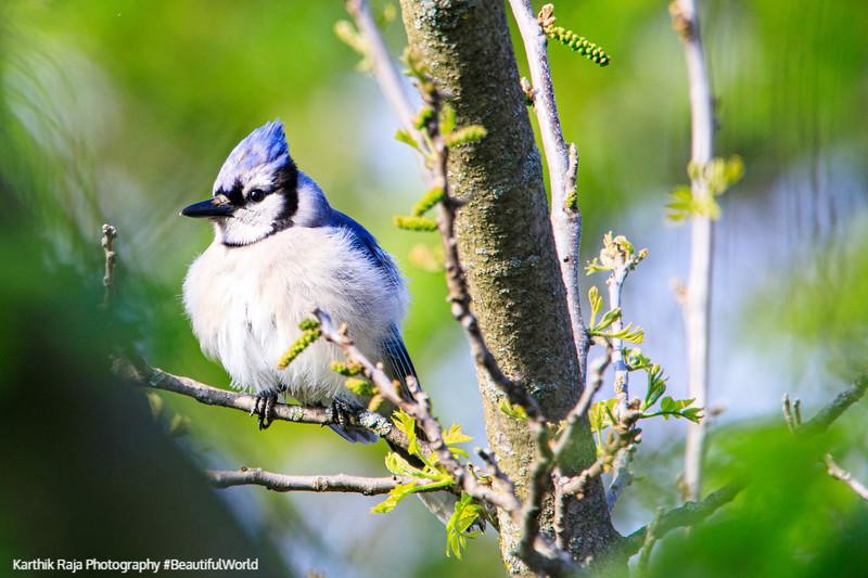 Blue Jay, Deer Grove Forest Preserve, Illinois