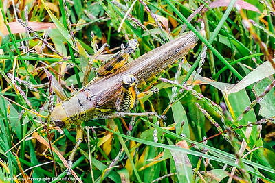 Grasshopper, Barrington Park, Illinois