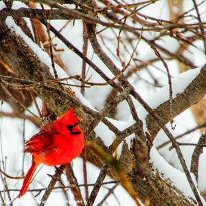Red Cardinal, snow, Palatine, Deer Grove Forest Preserve