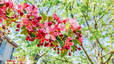 Magnolia, Spring 2015, Chicago