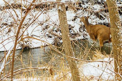 Deer, Deer Grove Forest Preserve, Palatine, IL