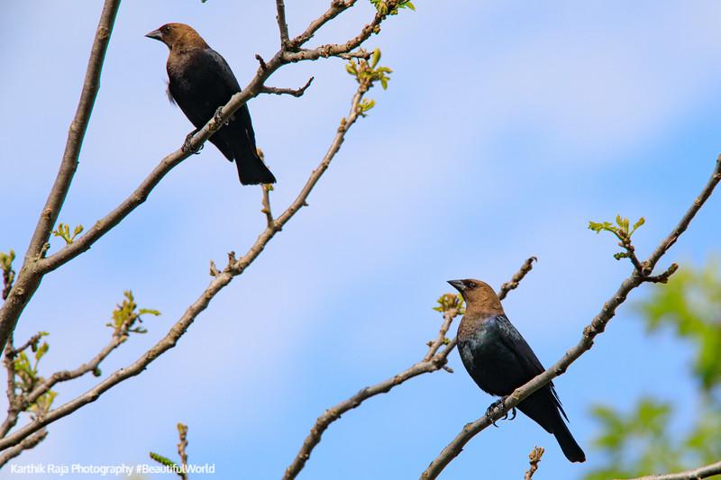 Twin birds, Deer Grove Forest Preserve, Illinois