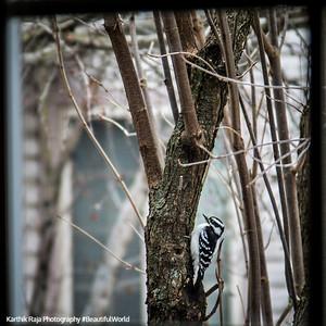 Woodpecker, Birds of WInter, Chicago 2018