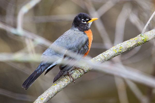 American Robin, Deer Grove Forest Preserve, Illinois
