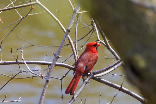 Red Cardinal, Deer Grove Forest Preserve, Illinois