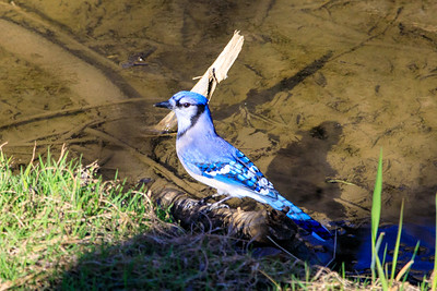 Blue Jay, Deer Grove Forest Preserve, Illinois