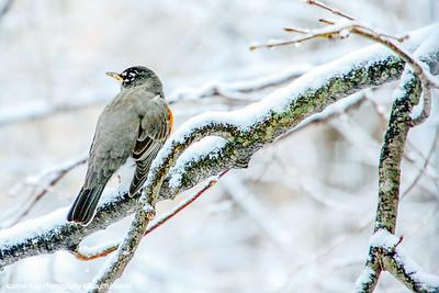 American Robin, Winter, Palatine, Il