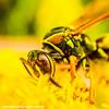 Bee, Barrington Park, Illinois