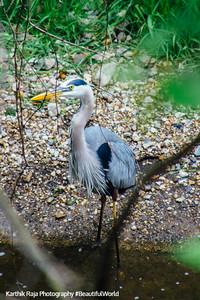 Heron, Deer Grove Forest Preserve