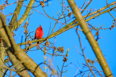 Cardinal, Wilderness Conservancy, Long Grove, IL