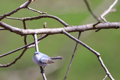 Blue-Gray Gnatcatcher, Deer Grove Forest Preserve, Illinois