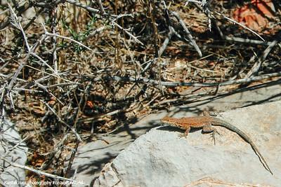 Lizard, Bright Angel Trail, Grand Canyon National Park, Arizona