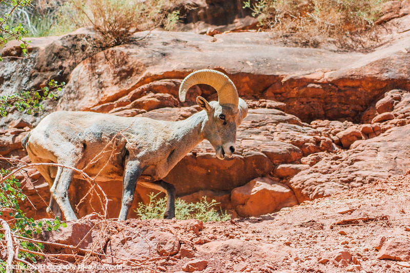 Mountain Ram, Bright Angel Trail, Grand Canyon National Park, Arizona