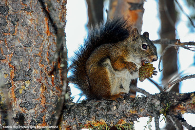 Grand Teton National Park, Wyoming - squirrel with pine cone