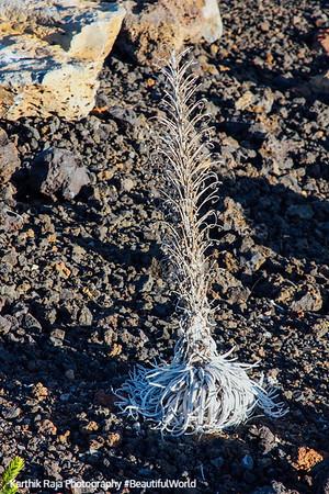 Dying Haleakala Silversword - ahinahina, Haleakala National Park, Maui, Hawaii, USA