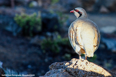 Nene - Hawaii's endangered bird, Haleakala National Park, Maui, Hawaii, USA
