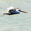 Pelican, Harbour Town, Hilton Head Island, South Carolina