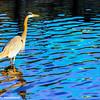 Great Blue Heron, Hilton Head Island, South Carolina