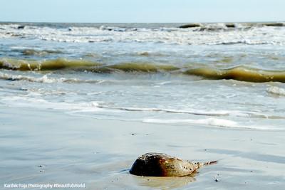 Horseshoe crab, Coligny beach, Atlantic Ocean, Hilton Head Island, South Carolina