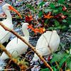 Cranes, Sea Pines Forest Preserve, Hilton Head Island, South Carolina