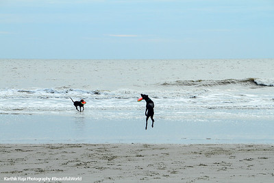 Frisbee with dog, Coligny beach, Atlantic Ocean, Hilton Head Island, South Carolina