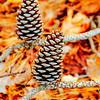 Pine cones, Sea Pines Forest Preserve, Hilton Head Island, South Carolina