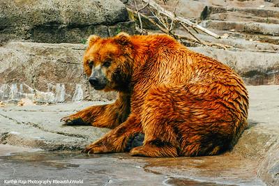 White River State Park, Indiana, Indianapolis Zoo, Kodiak Bear
