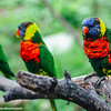 White River State Park, Indiana, Indianapolis Zoo, Australian Lorikeets