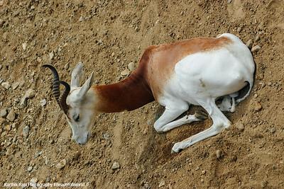 White River State Park, Indiana, Indianapolis Zoo, Addra Gazelle
