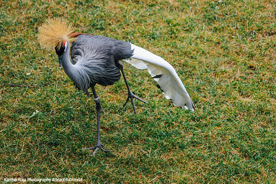 White River State Park, Indiana, Indianapolis Zoo, African Crowned Crane