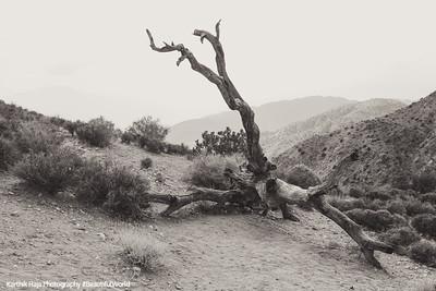 Fallen Tree, Joshua Tree National Park, California