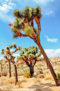 Joshua trees, Joshua Tree National Park, California
