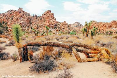 Fallen Joshua Tree, Hidden Valley, Joshua Tree National Park, California