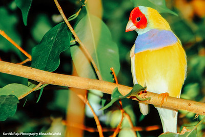 Gouldian Finch, Key West Butterfly and Nature Conservatory, Florida