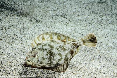Sanddab, Monterey Bay Aquarium, California