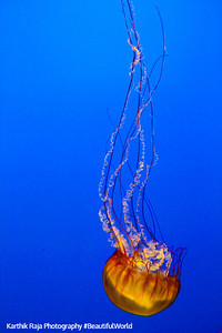 Sea Nettle Jellyfish, Monterey Bay Aquarium, California