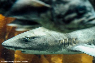 Shark, Monterey Bay Aquarium, California
