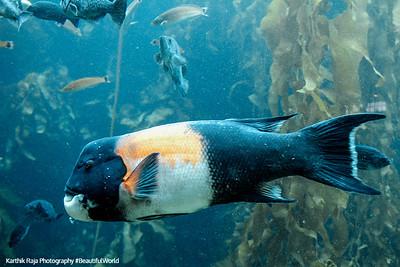 California sheephead, Monterey Bay Aquarium, California