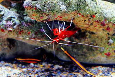 Shrimp, Monterey Bay Aquarium, California
