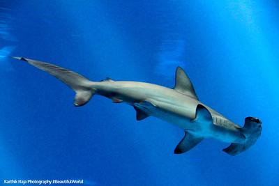 Hammerhead shark, Monterey Bay Aquarium, California