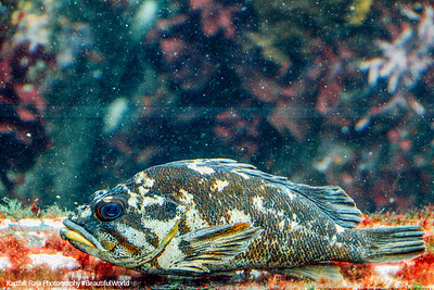 Rockfish, Monterey Bay Aquarium, California