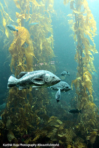 Kelp Forest, Monterey Bay Aquarium, California