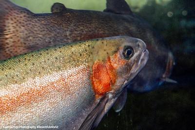 Topsmelt, Monterey Bay Aquarium, California