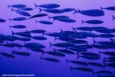 Pacific Sardines, Monterey Bay Aquarium, California