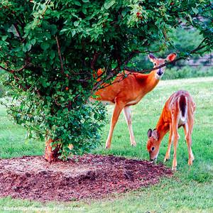 Deer in Ithaca,NY
