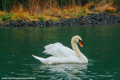 Swan, Penn's Cave, Lake Nitanee, Pennsylvania