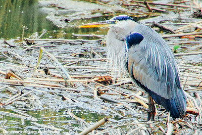 Great Blue Heron, Savannah National Wildlife Refuge