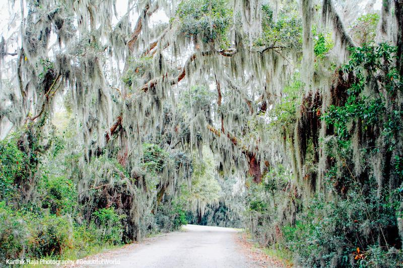 Spanish Moss, Savannah National Wildlife Refuge